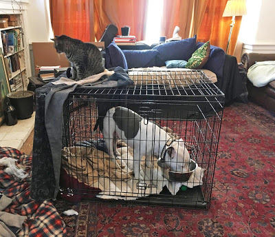 Matzo the dog in his crate with two cats sitting on top of it