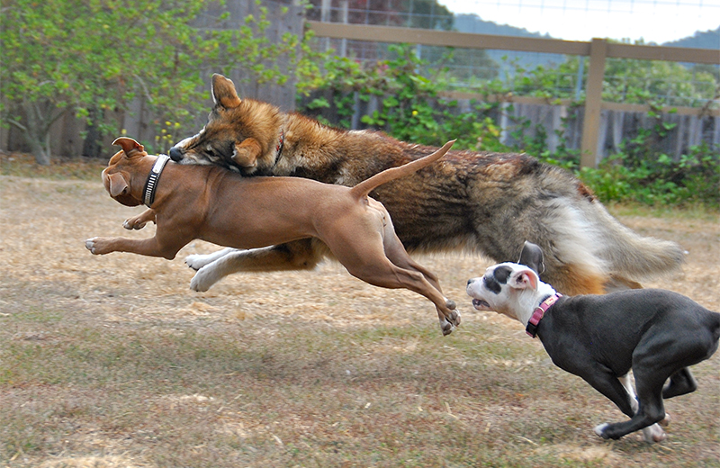 These dogs are good buddies, so they're actually enjoying this rough game of chase and grab. This kind of excitement would be enough to trigger a big ...